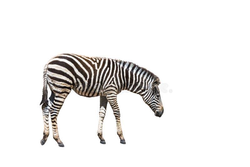 Quagga do Equus da zebra das planícies ou de zebra de Burchells burchelli do Equus isolado no fundo branco imagens de stock royalty free