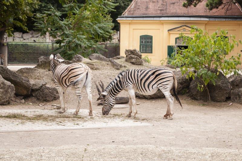 Quagga do Equus das zebras das planícies no jardim zoológico de Viena imagem de stock royalty free