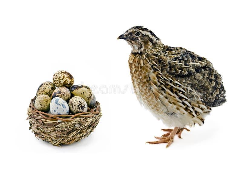 Quaglie e cestino adulti con le sue uova fotografie stock