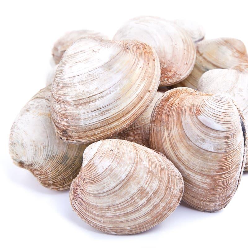 quahaug clam стоковое изображение