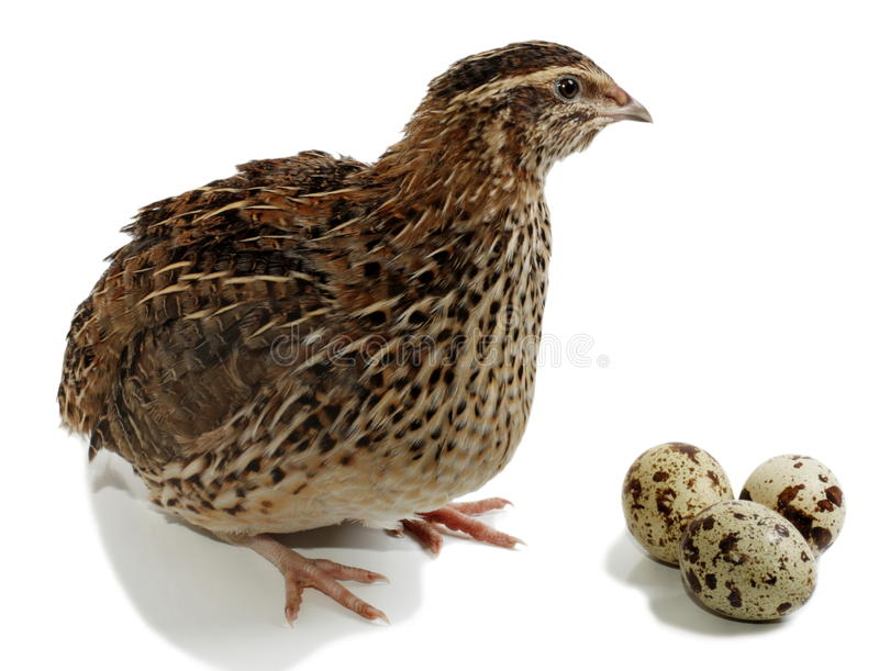 Download Quail stock photo. Image of poultry, livestock, chicken - 10832114