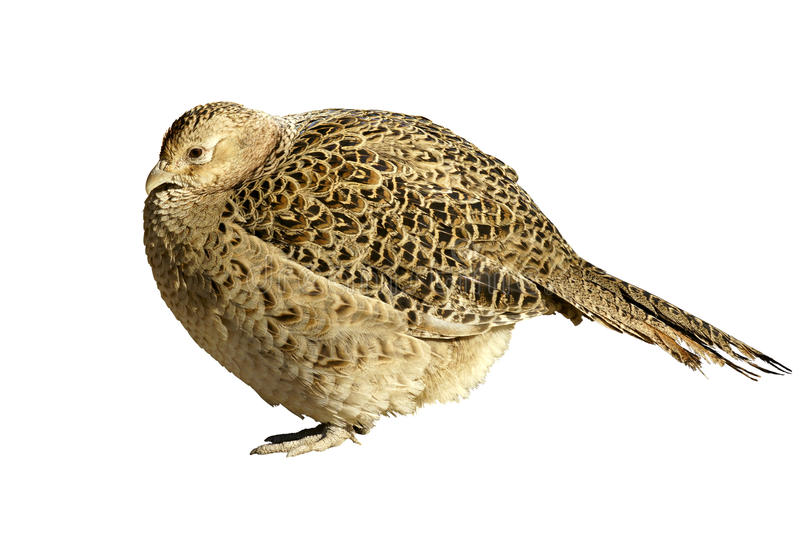 Quail. Picture with white background royalty free stock photos