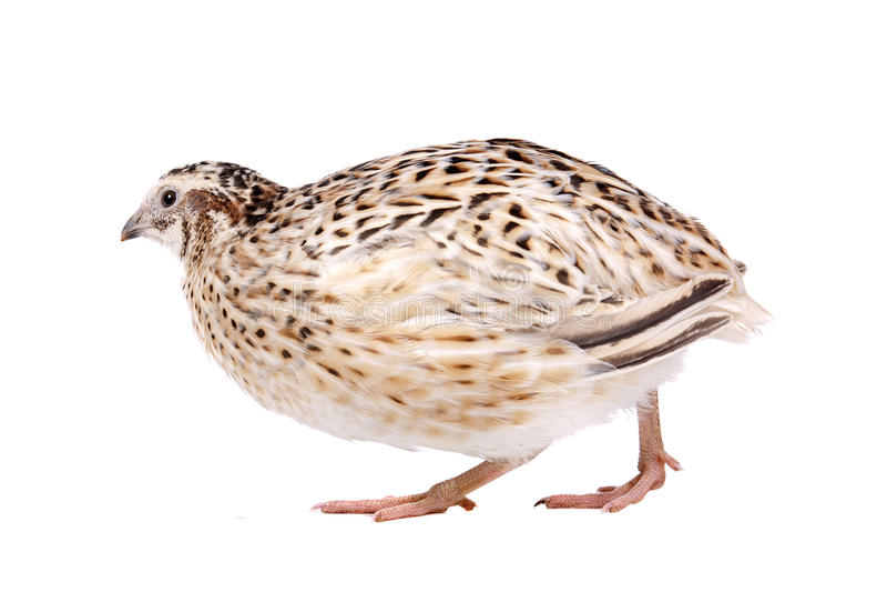 quail royaltyfria foton