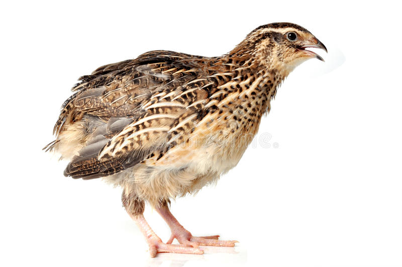 Quail. Japanese Quail of a white background