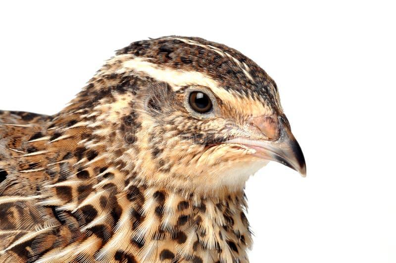 quail arkivbild