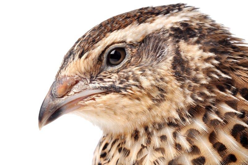 quail royaltyfria bilder