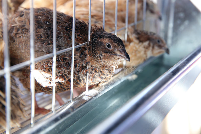 Quail in a cage. At poultry farm royalty free stock photos