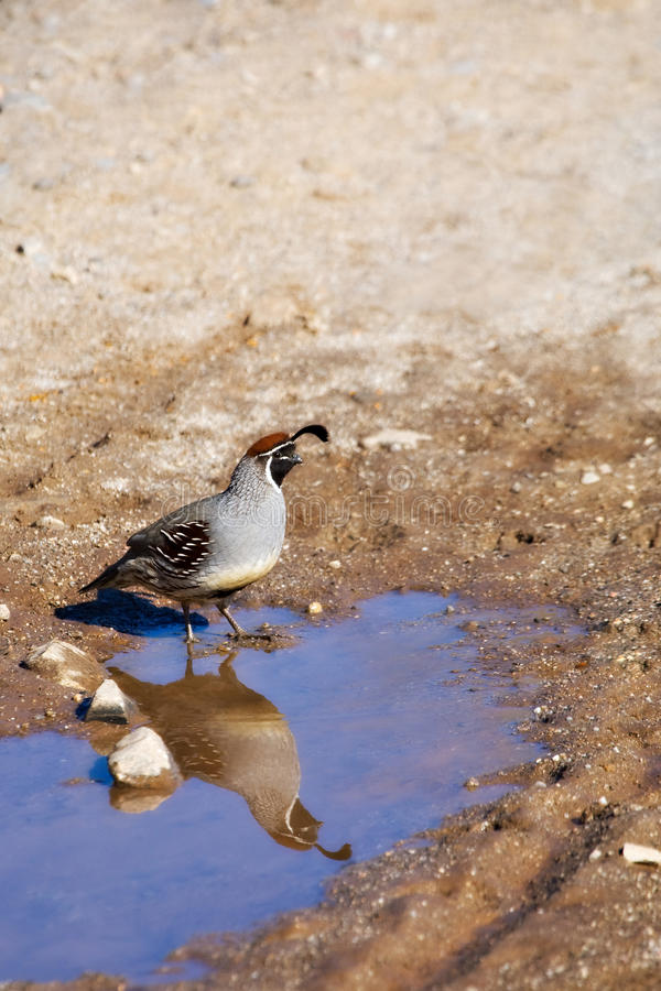 Download A Quail In The Desert, And Its Reflection Stock Image - Image: 13463121