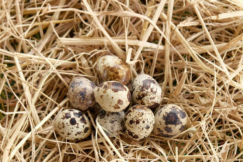 Quail egg thatch straw. Quail egg on thatch texture royalty free stock image