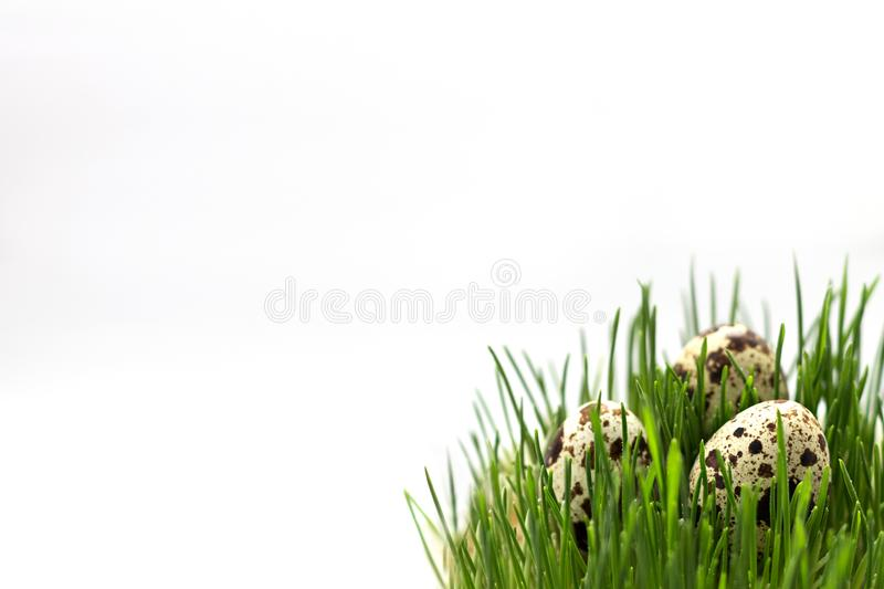 Quail eggs in the Green Grass. Copy Space stock images
