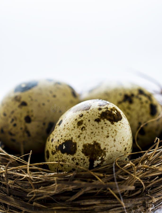Quail eggs macro. Quail eggs in nest macro royalty free stock photos