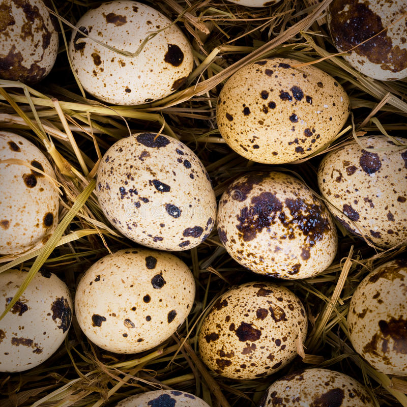 Quail eggs in a nest stock images