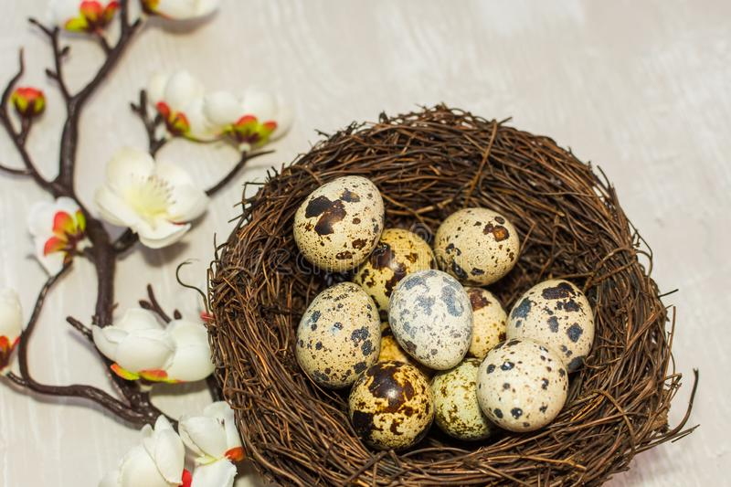 Quail eggs in the nest and a flowering branch. the view from the top. happy Easter card royalty free stock photos