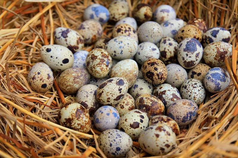 Quail eggs in a nest of hay close-up stock images