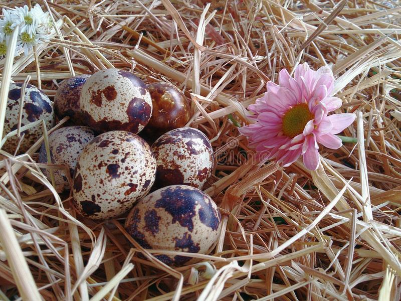 Quail eggs and pink chrysanthemums. Bird's nest Design and decorate on thatch background texture royalty free stock photography