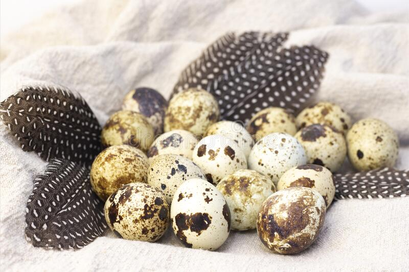 Quail eggs. On burlap. with quail feathers royalty free stock photo