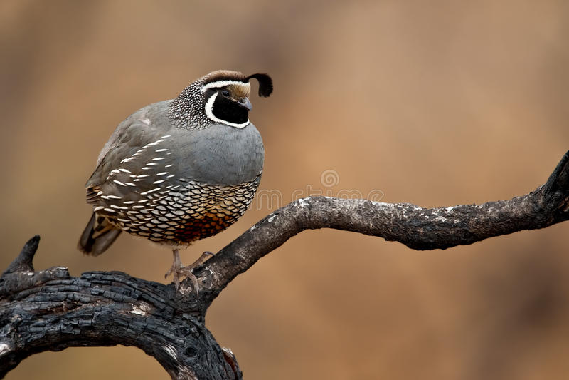 quail för Kalifornien californicacallipepla royaltyfria foton
