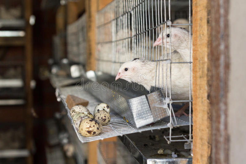 On quail farm birds in cages royalty free stock photo