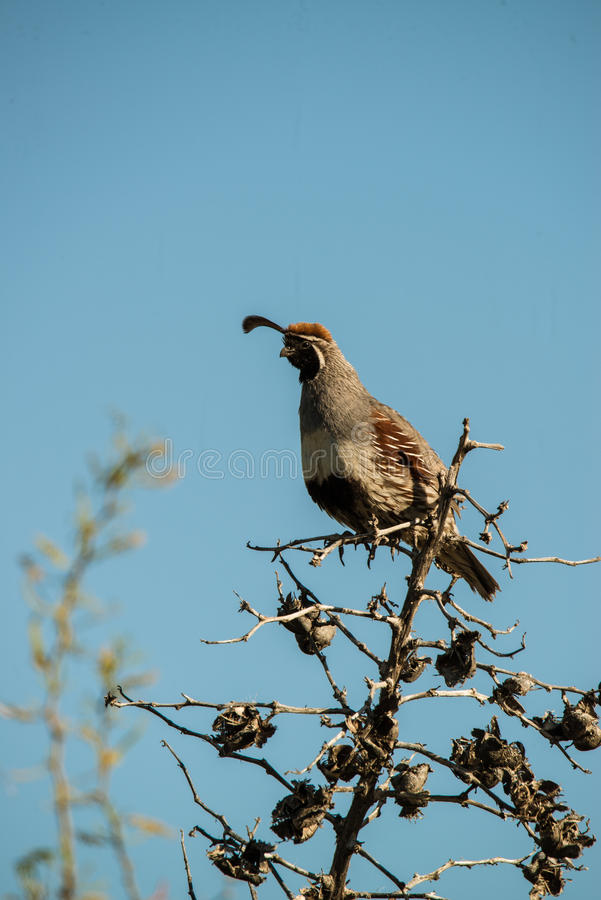 Quail Scout. A male quail keeping an eye out for its covey of quail royalty free stock images