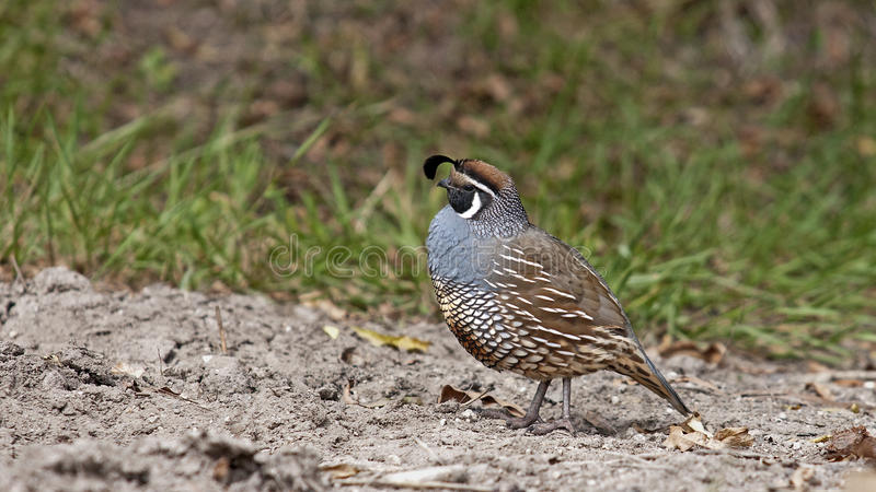 Quail walking on sandy areas stock images