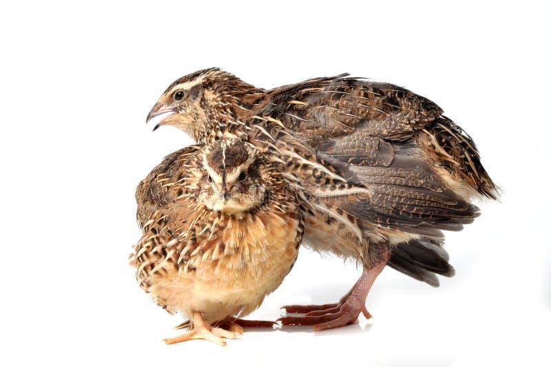quails arkivfoton