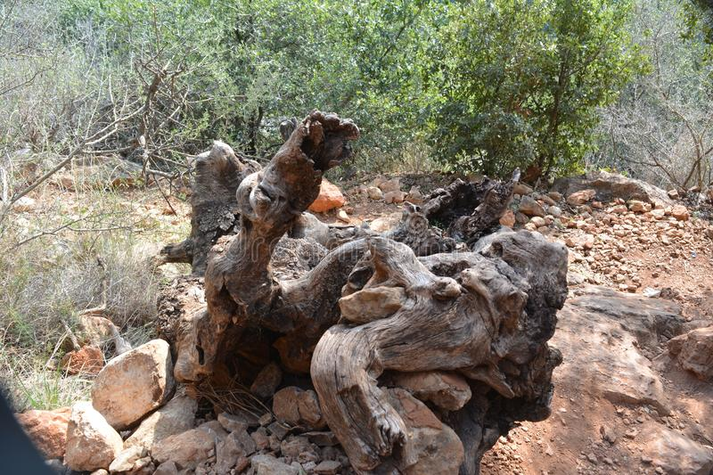 The quaint form of the root of the old olive is like a snake`s head or a bear`s mouth stock photo