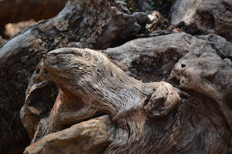 The quaint form of the root of the old olive is like a snake`s head or a bear`s mouth royalty free stock image
