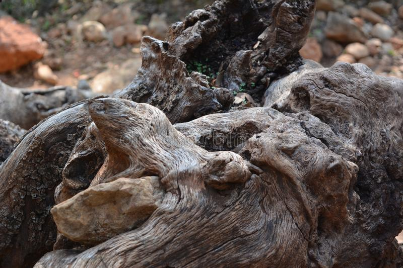 The quaint form of the root of the old olive is like a snake`s head or a bear`s mouth stock image
