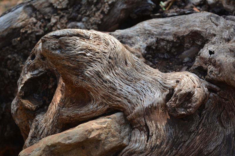 The quaint form of the root of the old olive is like a snake`s head or a bear`s mouth stock photos