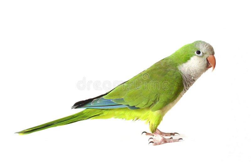 Quaker Parrot. Isolate on White