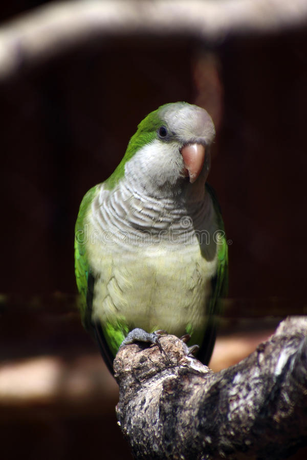 Free Quaker Parrot Royalty Free Stock Photography - 58164767