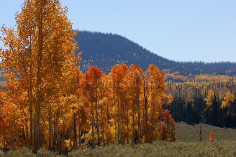 Quaking Aspen. (Populus tremuloides) taken near Cedar Breaks monument in Utah USA royalty free stock photo