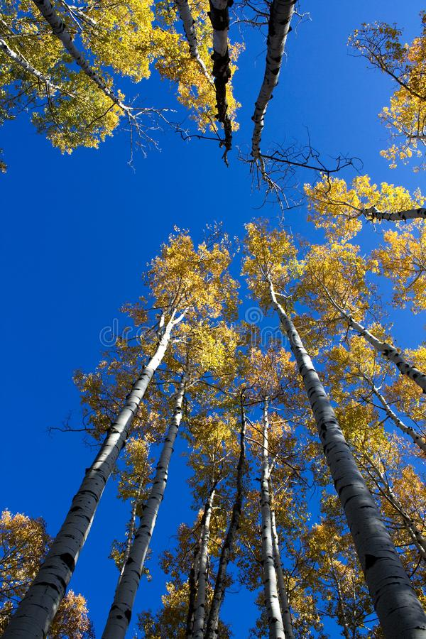 Quaking Aspens Populus tremuloides changing color in the Fall, Flagstaff, Arizona. Looking straight up stock photo