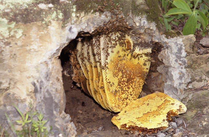A qualidade do mel na caverna é muito pesada imagens de stock royalty free