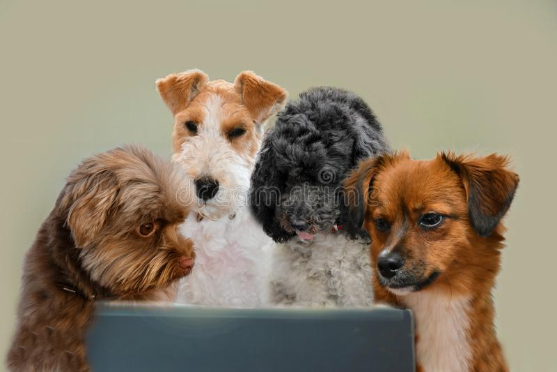 Qualifications de travail d'équipe, groupe de chiens surfant dans l'Internet images libres de droits