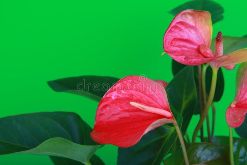 Qualità di fioritura dello studio dei fiori dell'anturio rosa fotografia stock