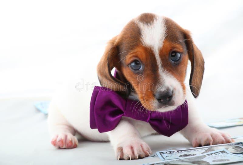 Qualità screziata dello studio di colore del cane del bassotto tedesco fotografia stock