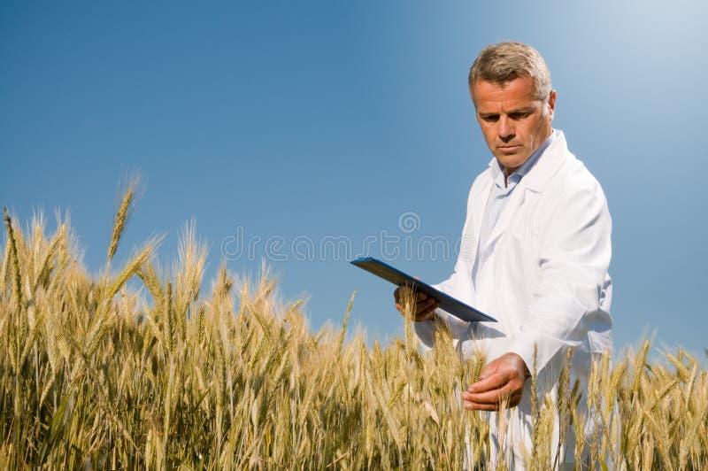 Qualitätskontrolle auf dem Weizengebiet stockbild