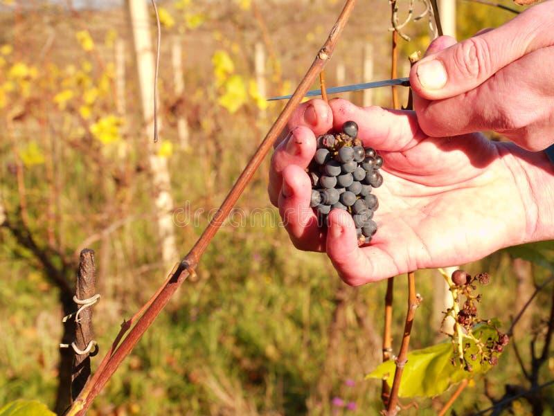 Qualité de contrôle d'agriculteur des vignes surgelées dans le vignoble en automne Les raisins de vigne dans la cour traditionnel image stock