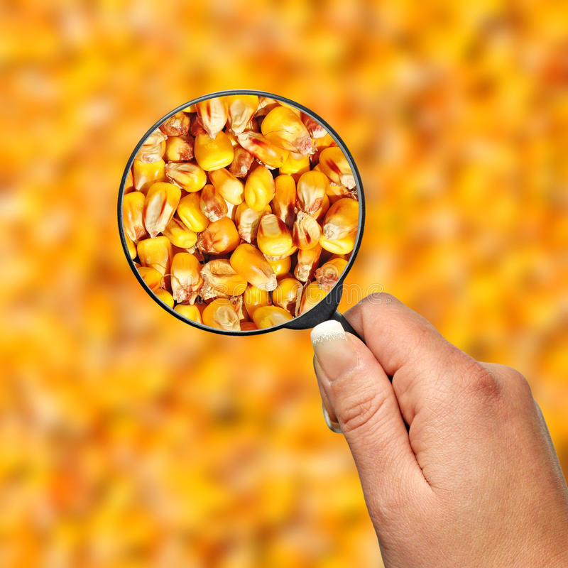 Qualité de maïs de nourriture d'inspection photographie stock libre de droits