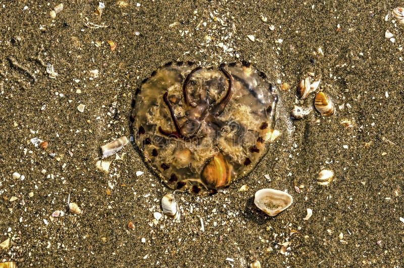 Quallen auf dem Strand lizenzfreies stockfoto