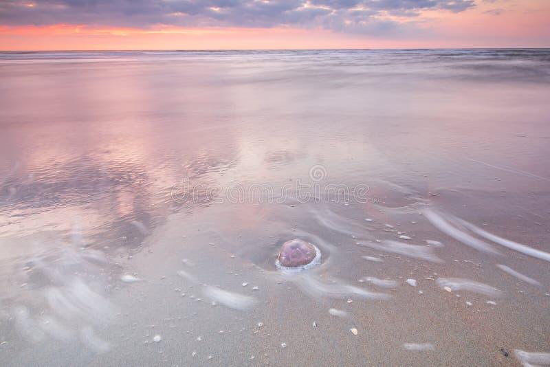 Quallen bei Ebbe angeschwemmt am Strand Abstraktes rosa, Purpur und Türkisbild stockfotografie