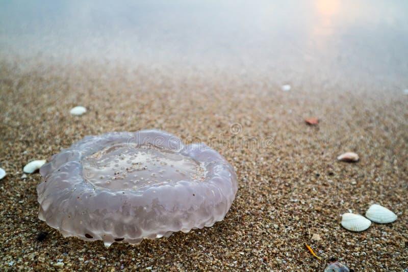 Quallen, die Schale eine Welle ist, tauchten auf den Strand auf, der durch einen Sturm verursacht wurde stockfotos