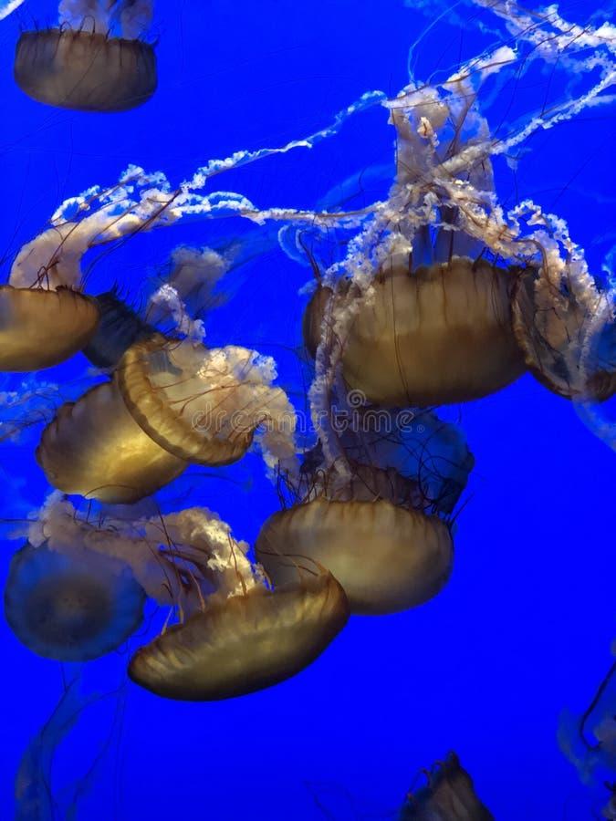 Quallen, die zusammen schwimmen stockbilder