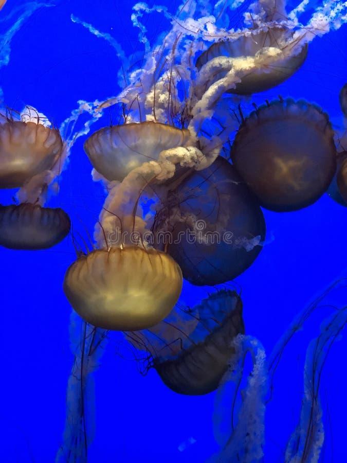 Quallen, die zusammen schwimmen stockbild