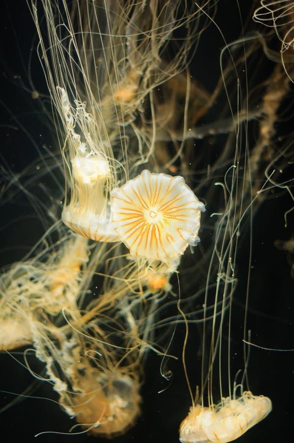 Quallen im Ozean lizenzfreie stockfotografie