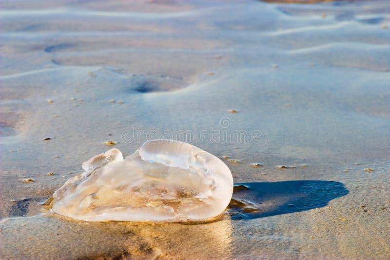 Quallen am Strand stockbild