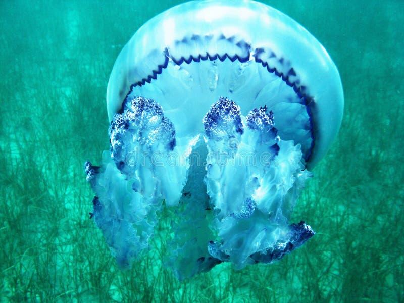 Quallen unter blauem Wasser im Meer nahe der Unterseite lizenzfreies stockfoto