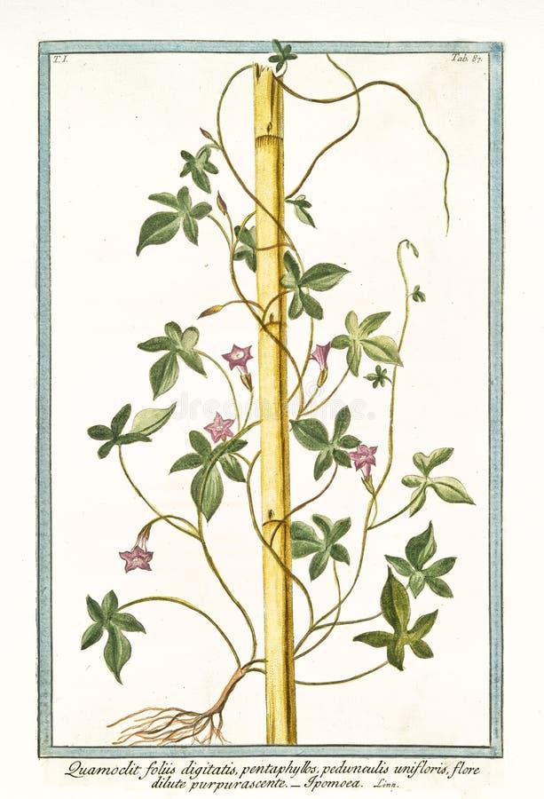 Quamoclit foliis digitatis的老植物的例证 免版税图库摄影