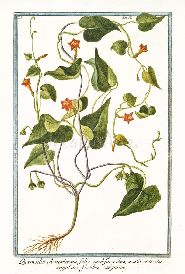 Quamoclit Ipomoea americana hederifolia royalty ilustracja